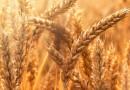 Descopera ingredinetele ecologice HIPP – despre graul ecologic
